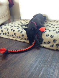 Black greyhound puppy