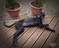 Ava - Black greyhound puppy