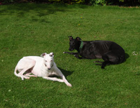 White & black Greyhounds