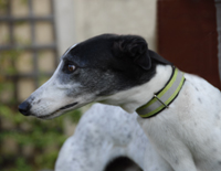 White and black Greyhound