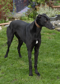 Ozzy -  Black Greyhound