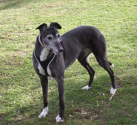 Misty - Black Greyhound