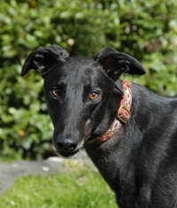 Frankie - Black Greyhound