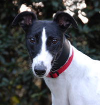 Joey - Black & White Greyhound
