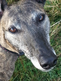 Pip - Brindle Greyhound