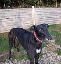 Kit - Black Greyhound