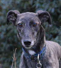 Sangria - brindle greyhound