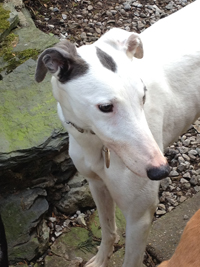 Bella - white & blue Greyhound