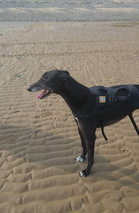 Bob - Black greyhound