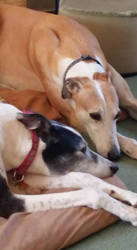 Lexi & Billy - Greyhounds