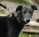 Pearly - black greyhound