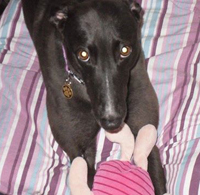 Poppy - Black Greyhound