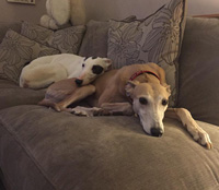 Bella & Millie - greyhounds