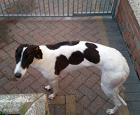 Dotty - white & black Greyhound
