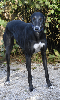 Rosie - Black Greyhound