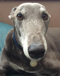 Blue - Blue greyhound