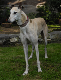 Gina - fawn Greyhound