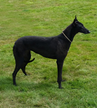 Peg - Black Greyhound