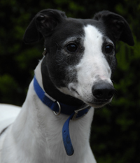 Sonya - white & black greyhound