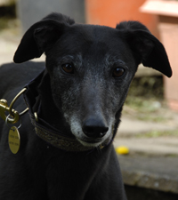 Bonnie - Black Greyhound