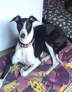 Joyce - black & white greyhound