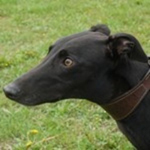 Sligo - Black Greyhound