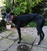 Lottie - Black Greyhound