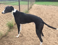 Joe - black and white greyhound