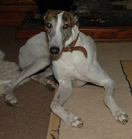 White and brindle greyhound
