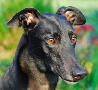 Portrait of a black greyhound