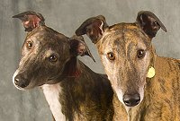 Two brindle Greyhounds