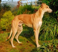 Fawn or Red Greyhound