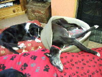 greyhound and collie asleep