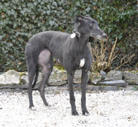Lady - black Greyhound