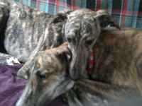 Brindle greyhounds