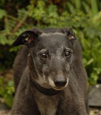 Meg - Black Greyhound