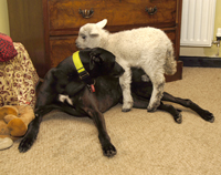 Black greyhound with pet lamb