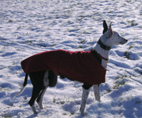 Greyhound in snow