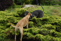 black & fawn greyhounds
