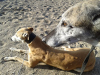 Fawn Greyhound on beach