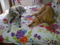 Fawn & brindle Greyhound