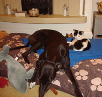 Greyhound with cat
