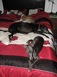 greyhound with whippets