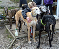 Group of Greyhounds