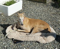 Goldie - Fawn Greyhound