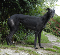 Black Greyhound