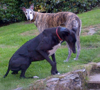 two greyhounds