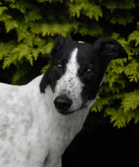 White & black Greyhound
