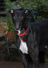 Sly - Black greyhound