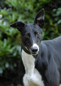 Black & white greyhound